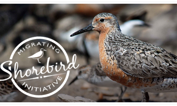 Migrating Shorebird Initiative