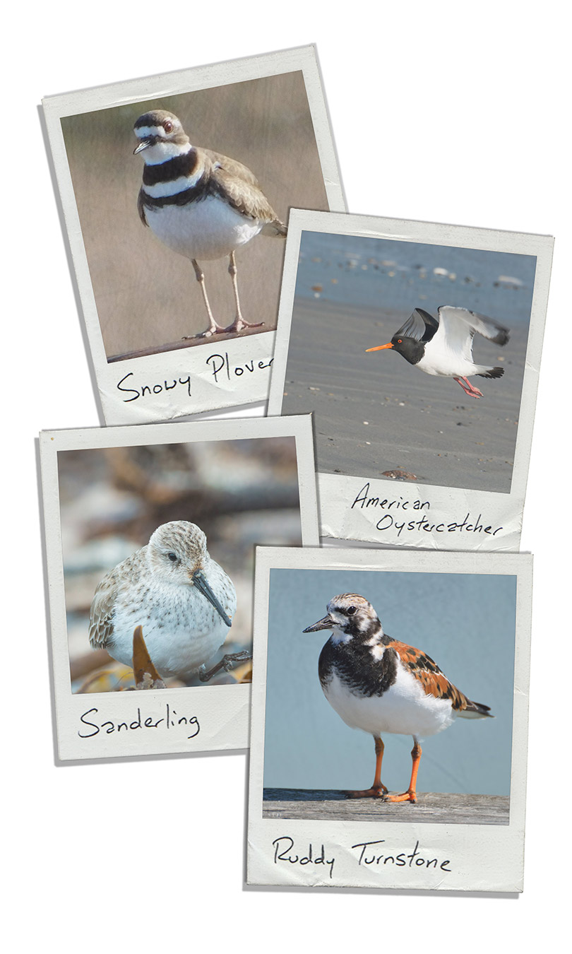 Shorebird species