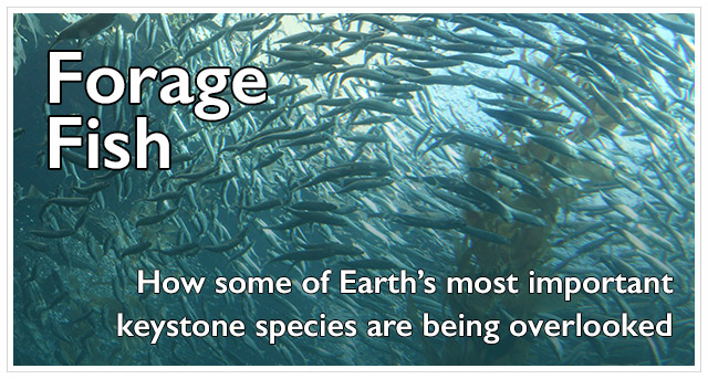 Learn more about the plight Forage Fish