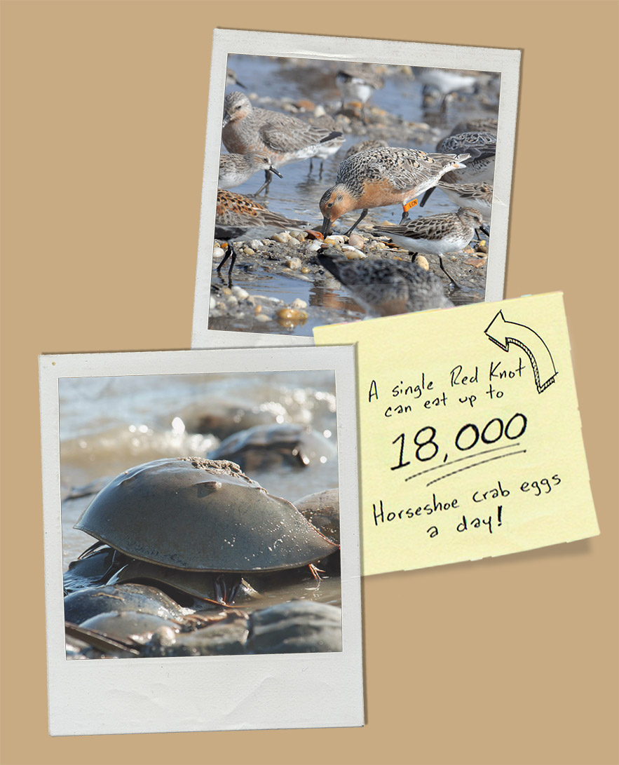 Horseshoe Crab eggs are a vital source of nutrition for several shorebirds.