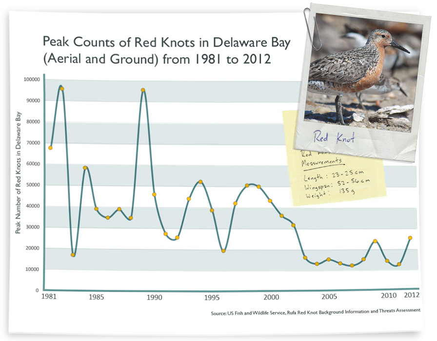 The Rufa Red Knot has been in steady decline over the last few decades.