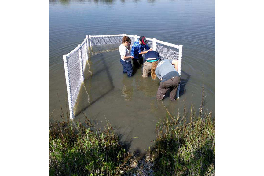 The team installs one of the enclosures into the salt-water pond that will home the horseshoe crabs.
