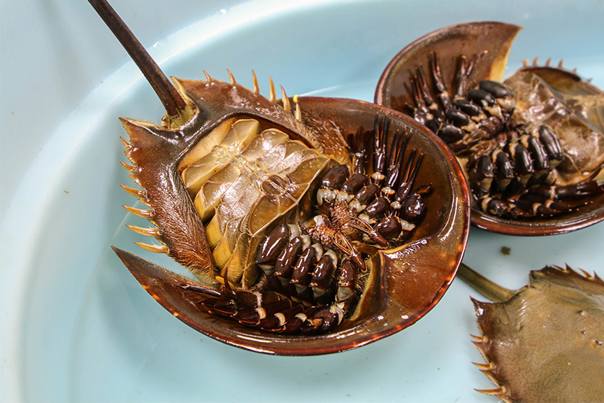 Horseshoe Crab Ventral View